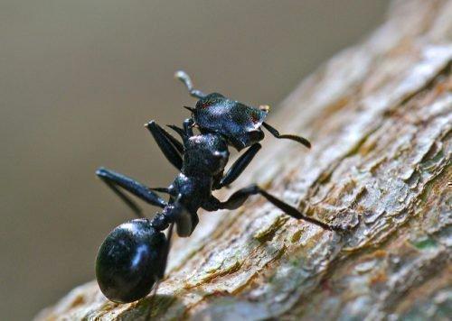 Древесный муравей черный