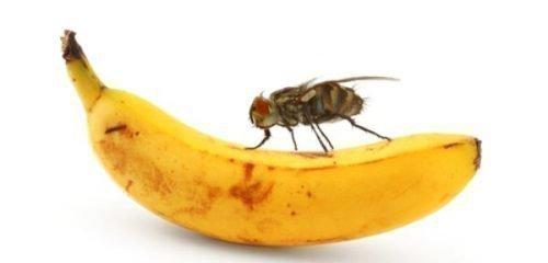 Дрозофила на банане