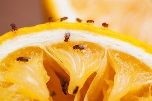 Дрозофилы на лимоне