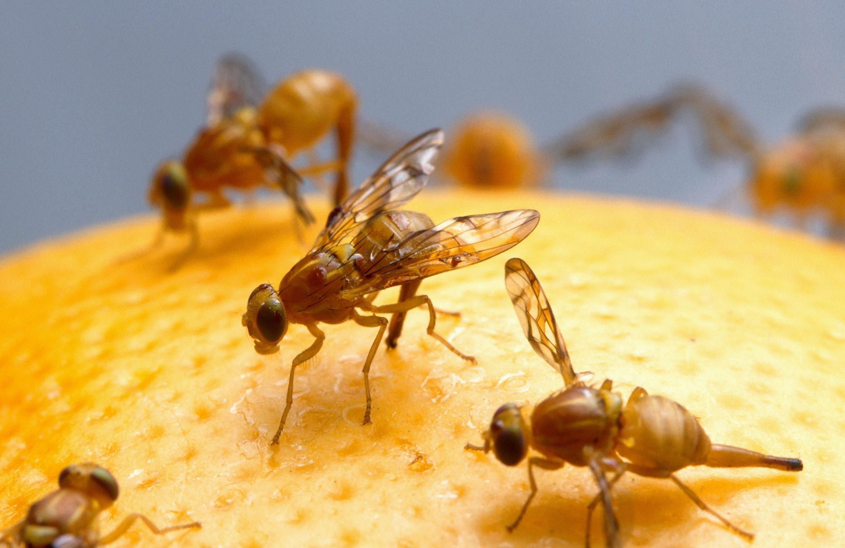 Фруктовые мухи