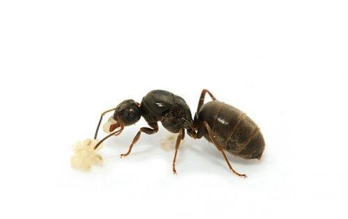 Королева черных муравьев