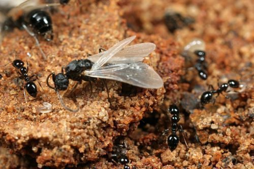 Летающий муравей