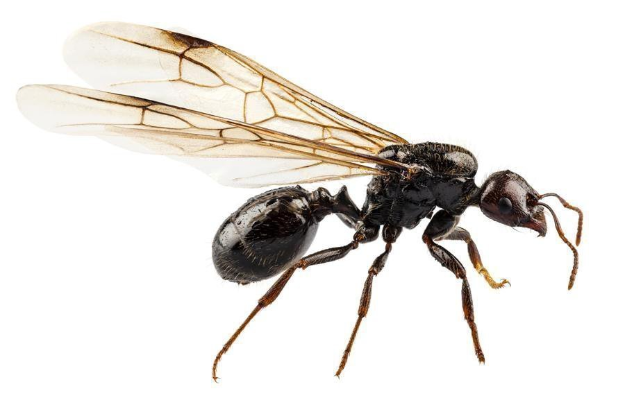 Летучий муравей