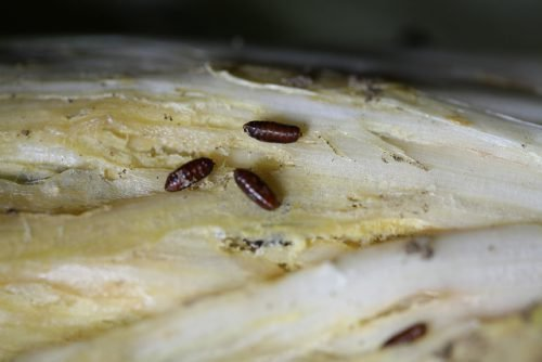 Личинки луковых мух
