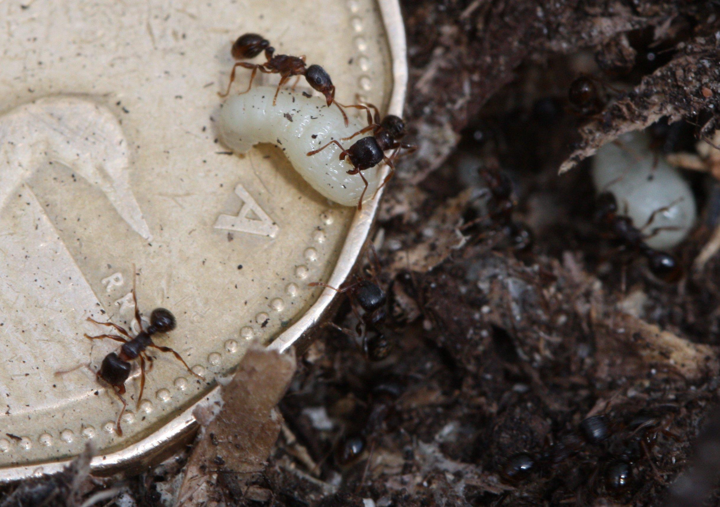 Муравьи и личинки