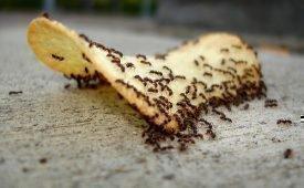 Чем опасно нашествие муравьев в квартире?