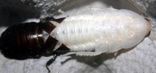 Таракан белый