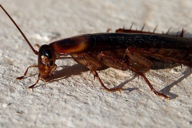 Таракан коричневый