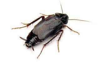 Способы избавиться от черных тараканов в условиях квартиры