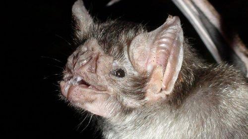 Кровососущая летучая мышь
