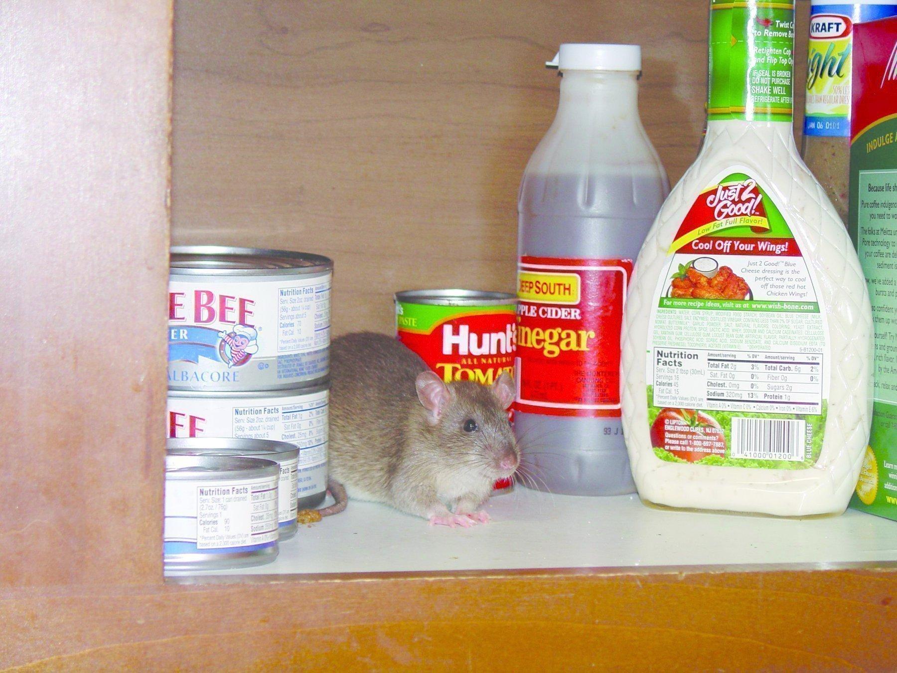 Крыса в доме