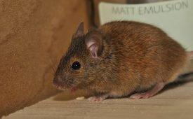 Мыши обнаружились в доме, почему?