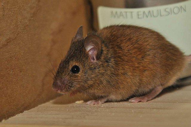 Откуда появляются мыши в доме