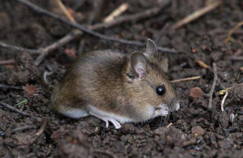 Мышь в саду