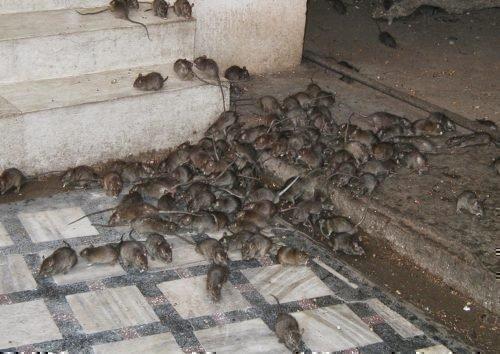 Стая крыс