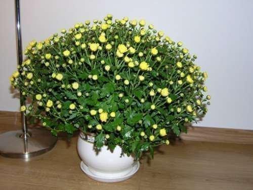 Тля на домашней хризантеме