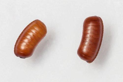 Яйца таракана