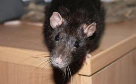 Ловим мышь в квартире без помощи мышеловки
