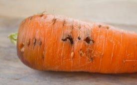 Как победить морковную муху