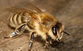 Способы избавления от пчел в стене дома