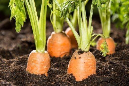 Опрыскивание моркови
