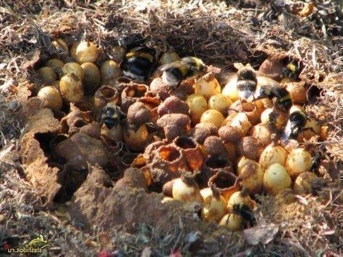 Гнездо шмелей