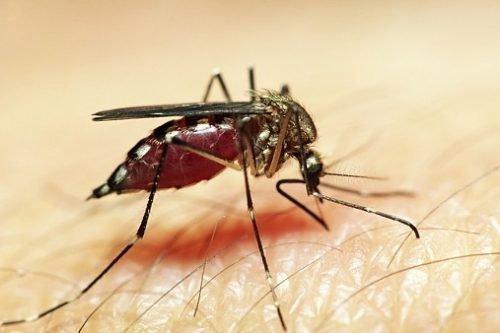 Молярийный комар кусает