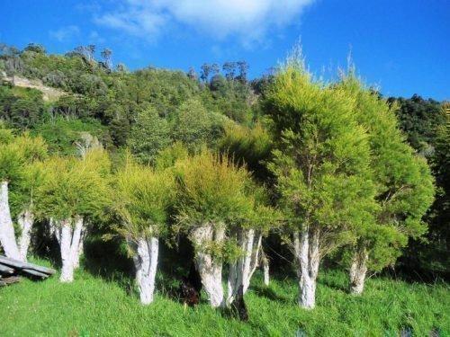 Чайные деревья