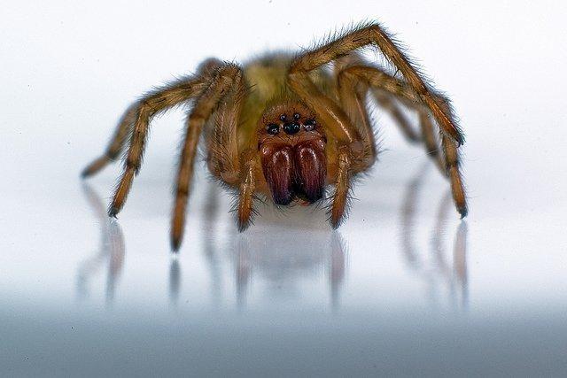 Домовой паук Tegenaria domestica