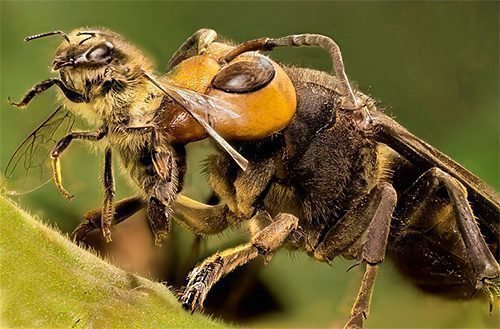 Шершень и пчела
