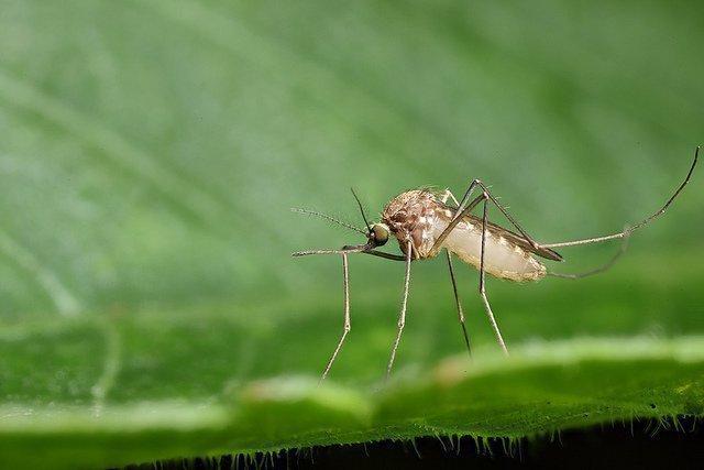 Комар на листе