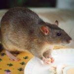 Как уничтожить крыс в квартире