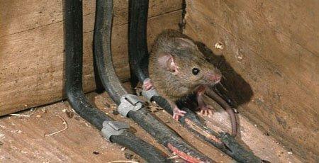 Крыса в подвале