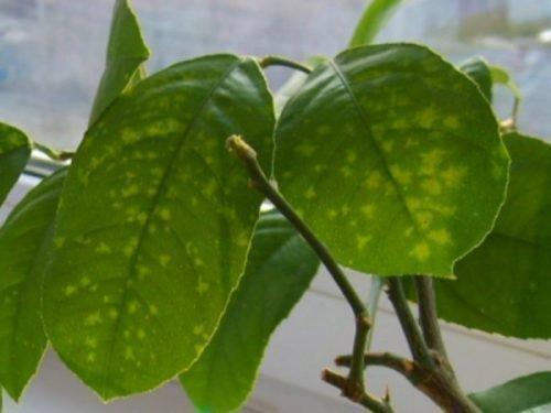 Лимон пораженный щитовкой