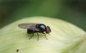 Как нужно бороться с луковой мухой