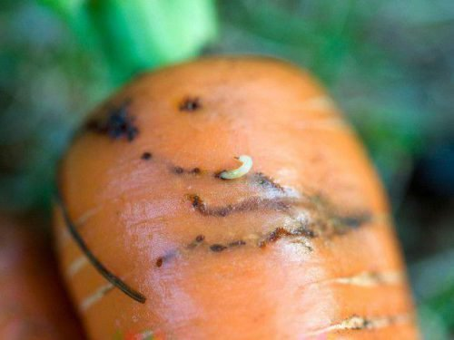 Морковная муха в моркови