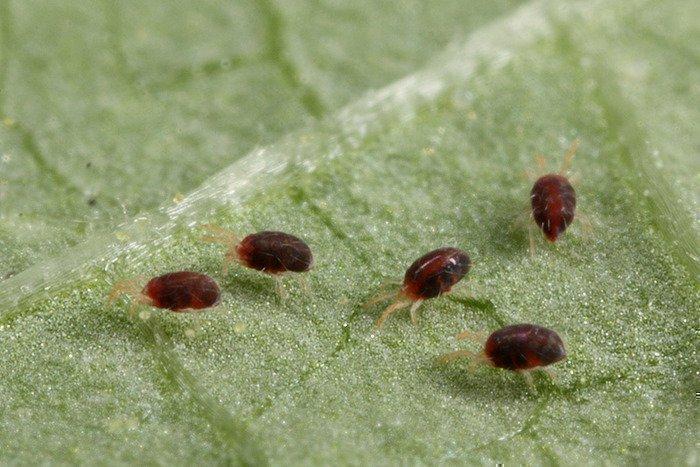 Причины появления паутинного клеща на комнатных растениях