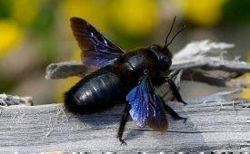 Как эффективно избавится от пчел - плотников в доме