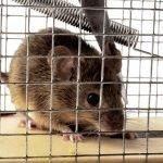 Как при помощи самодельного способа поймать крысу в доме