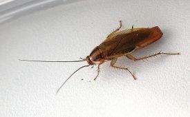 Как можно избавиться от рыжих тараканов