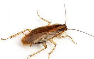 Тараканы: как эффективно избавиться в домашних условиях?