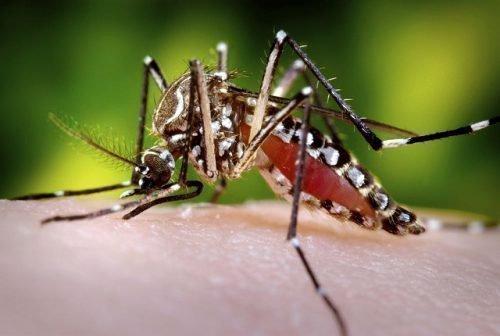 Сытый комар