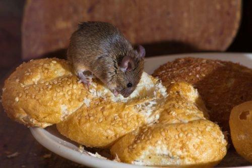 Мышь ест хлеб