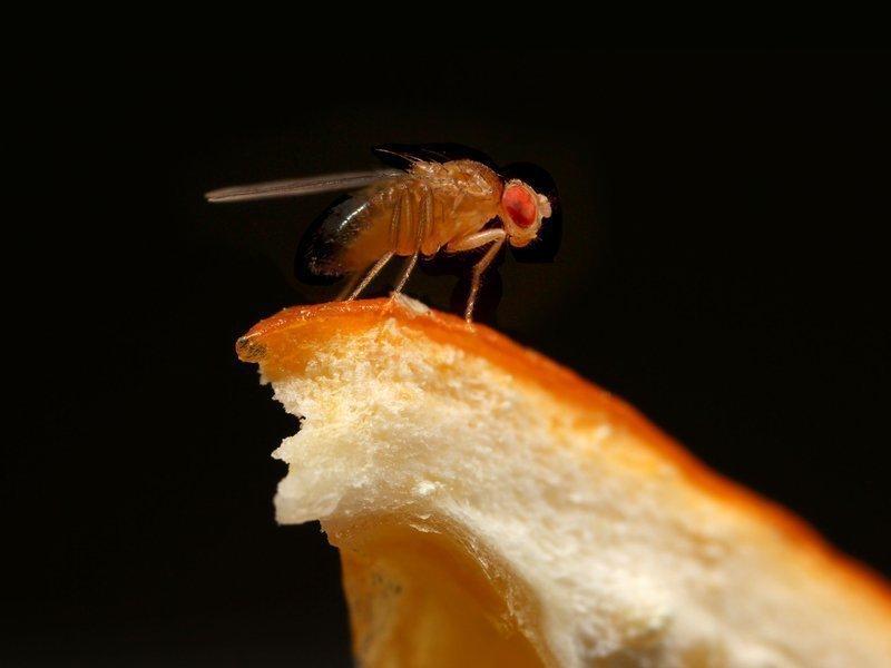 Домашняя мошка на хлебе