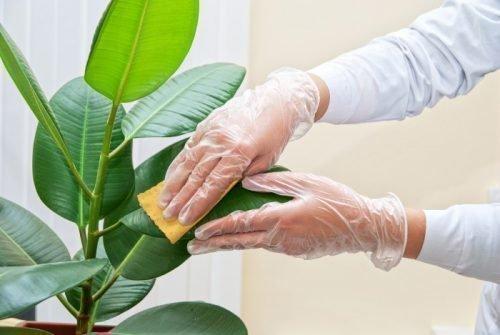 Протирать листья растений