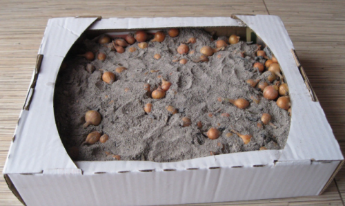 Хранение севка в песке