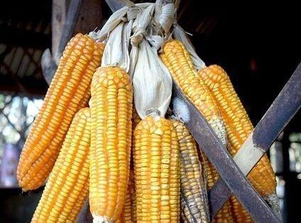 Хранение кукурузы в вязанках