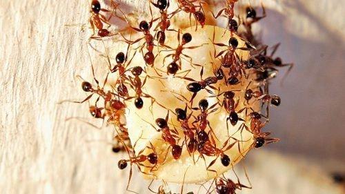Фараоновые муравьи в квартире: как избавиться