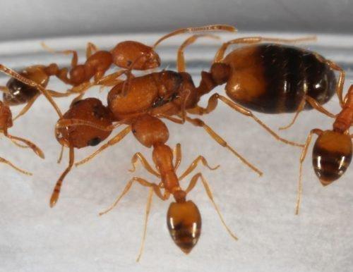 Королева фараоновых муравьев
