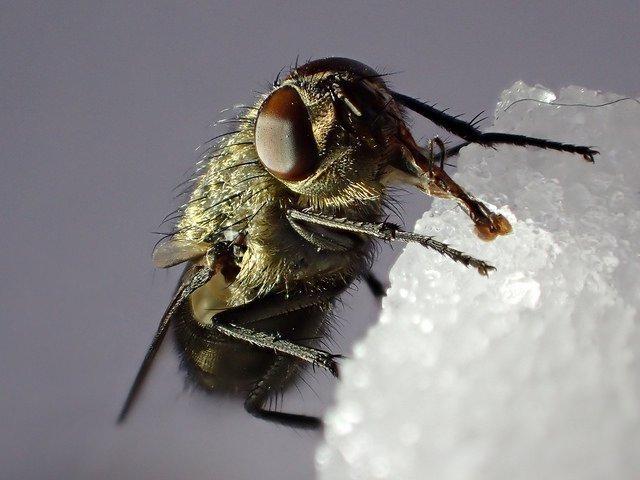 Если муха в домашних условиях